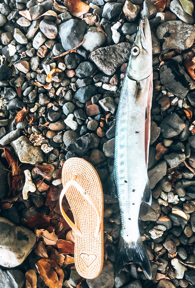 Barracuda pêche