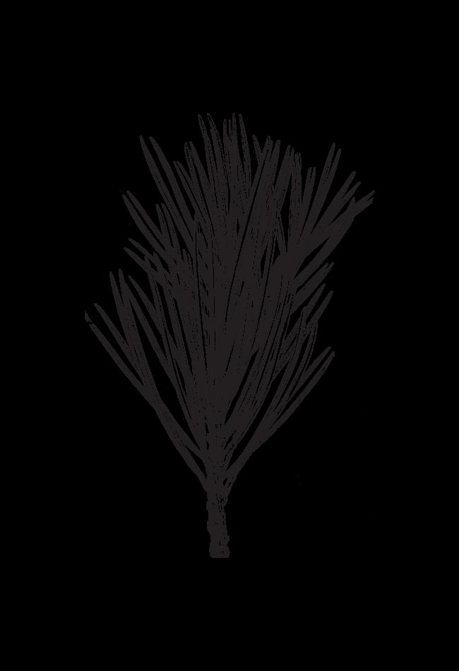 Illustration aiguilles de pin
